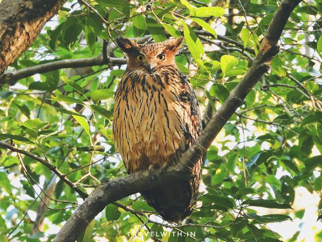 Tawny Fish Owl