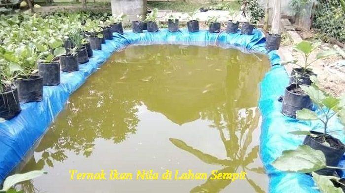 Gambar Ternak Ikan Nila di Lahan Sempit