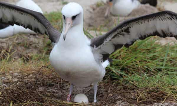 World's oldest wild bird gives birth to another chick at 70
