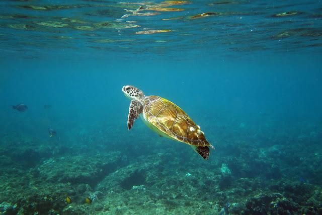 snorkeling, schnorcheln, daymaniyat, islands, inseln, fische, korallen, oman, Muscat, unterwasser, schildkröte, meeresschildkröte, karettschildkrötemeer