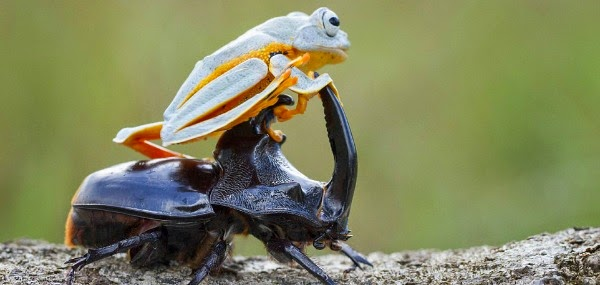 Watch this Cowboy Frog have fun riding a Beetle via geniushowto.blogspot.com reinwardt's flying frog seen grabbing black beetle's antenna as a joystick to navigate as a pilot in midair flight