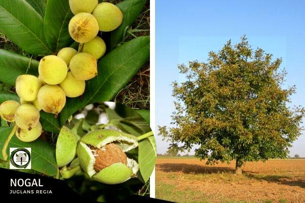 El Nogal, es un árbol de hoja caduca, de gran porte oriundo del Próximo Oriente, desde el norte de Grecia hasta el Himalaya
