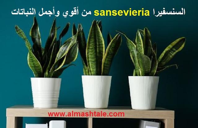 زراعة نبات السنسفيرا sansevieria