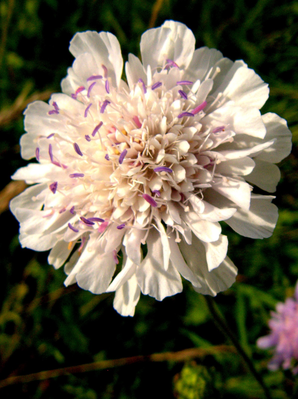 Peter Lovetts Ramblings An Unusual White Scabious Sp