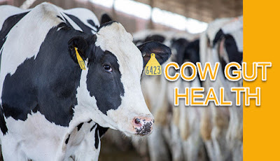 cow gut health importance