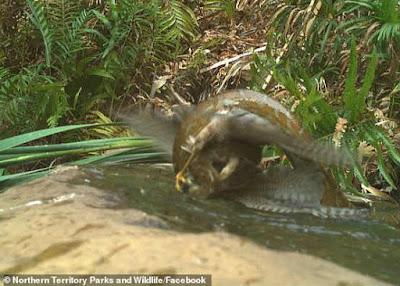 Burung elang vs  ular sanca di dalam air.