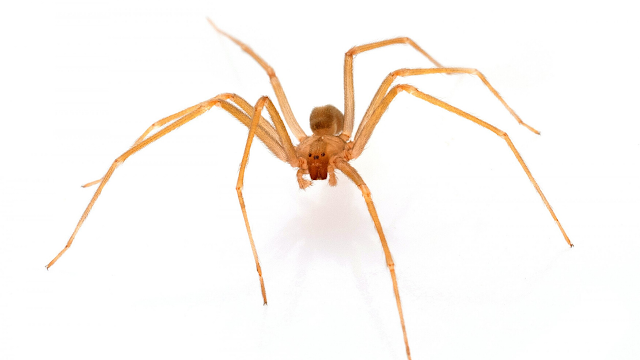 Facts about Brown Recluse