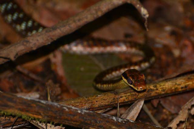 Dendrelaphis ngansonensis