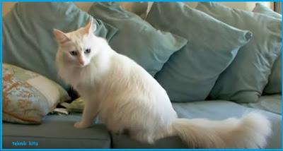 Perbedaan kucing anggora dan persia mudah dipahami