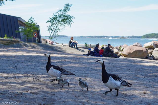 Valkoposkihanhiperhe kävelemässä rantahiekalla
