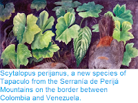 http://sciencythoughts.blogspot.co.uk/2015/04/scytalopus-perijanus-new-species-of.html