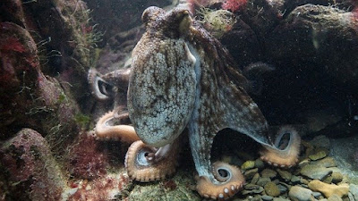 How Smart Are Cephalopods