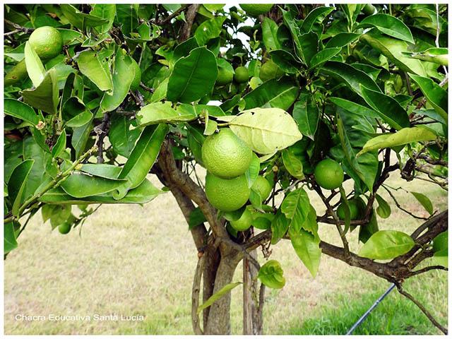 Frutos de naranjo aún verdes -Chacra Educativa Santa Lucía