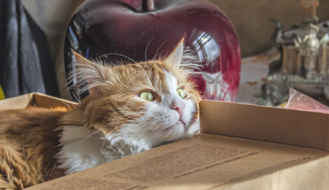 A ginger and white cat pokes their head out of a cardboard box. If I fits, I sits, and science