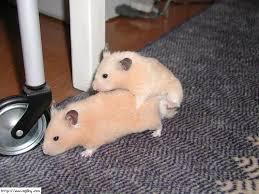 reproducción de las ardillas rusas