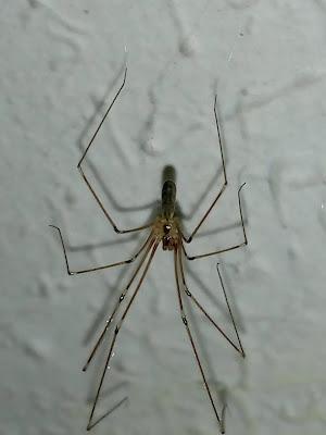 Araña de las casas (Pholcus phalangoides)