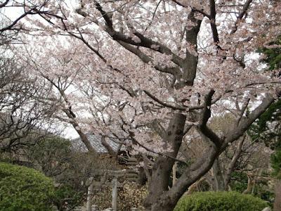 宝戒寺の桜