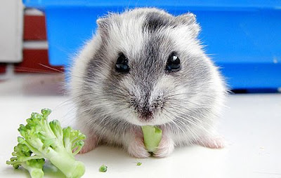 Dwarf Hamster Eating Broccoli