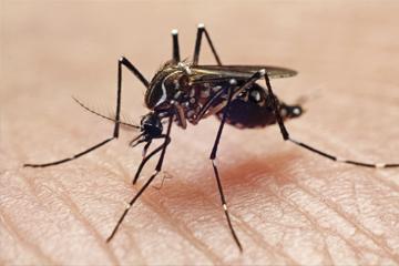 Nyamuk pembawa virus demam berdarah dengue
