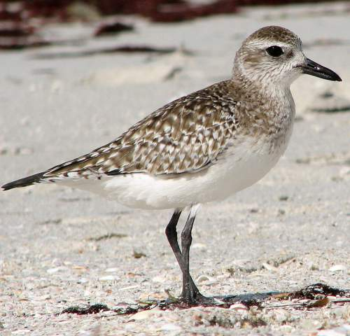 Indian birds - Image of Grey plover - Pluvialis squatarola