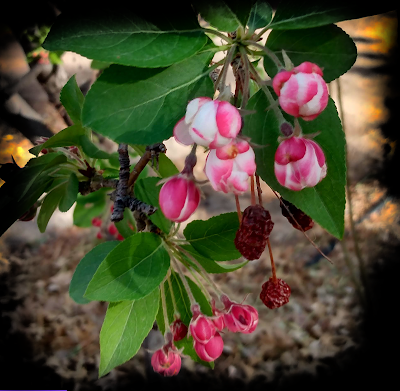 shriveled crabapples and new crab apple blooms
