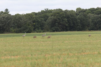 sandhill cranes in a field