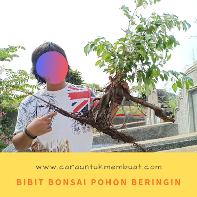 Bibit Bonsai Pohon Beringin