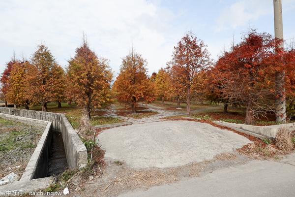 台中外埔落羽松秘境,200棵落羽松藏身在麗寶樂園旁,漂亮好拍