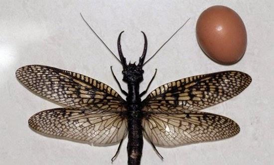 Maior inseto aquático do mundo