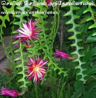 selenicereus anthonyanus