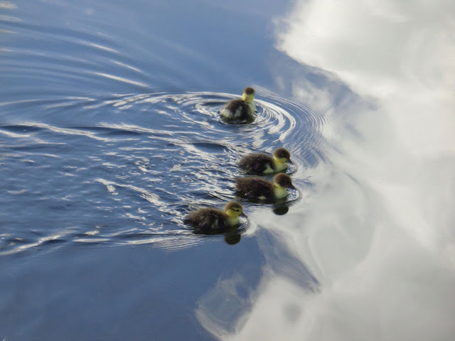 Four Muscovy Duck Chicks Swimming