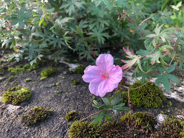Pink geranium flowering in morning sun