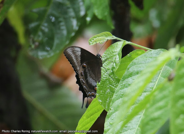 Ulysses butterfly or Blue Mountain Swallowtail butterfly (Papilio ulysses)