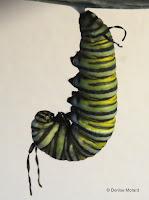 'J' phase Monarch caterpillar soon to turn into chrysalis - © Denise Motard