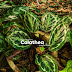 Kesian Pokok Calathea Medallion