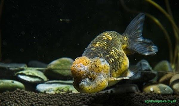 Tips Sukses Meraih Keuntungan Dengan Bisnis Budidaya Ikan Hias