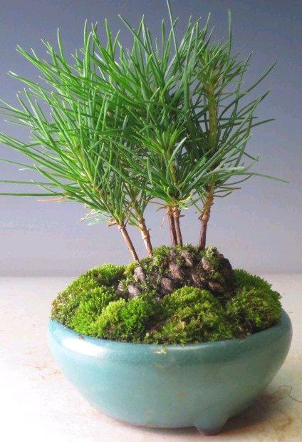 Dishfunctional Designs Diy Pine Cone Bonsai How To Make A Pine Cone Bonsai