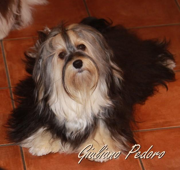 Havaneser Rüde Farbe tricolor bunt VDH Havaneser Havaneser Hund ausgewachsen erwachsen
