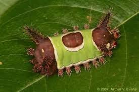 saddleback caterpillar ulat tercantik di dunia