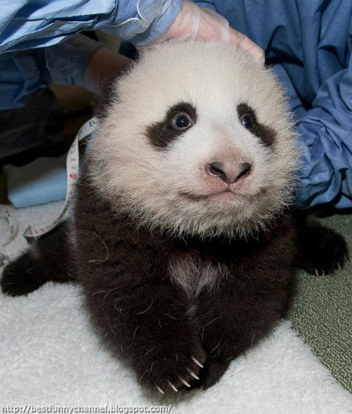 Cute And Funny Pictures Of Animals 68 Pandas 7