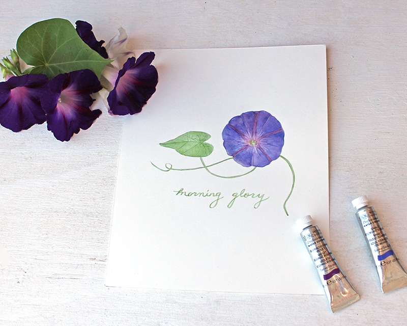 Watercolor painting of a morning glory by Kathleen Maunder of Trowel and Paintbrush