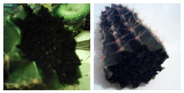 cactusul a fost taiat pana la punctul unde trunchiul este sanatos