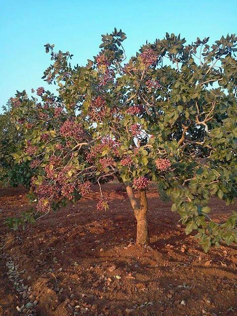 antep fıstığı ağacı