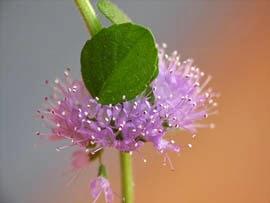 Flor de la planta del poleo