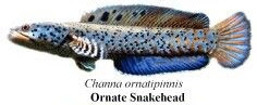 ornate snakehead