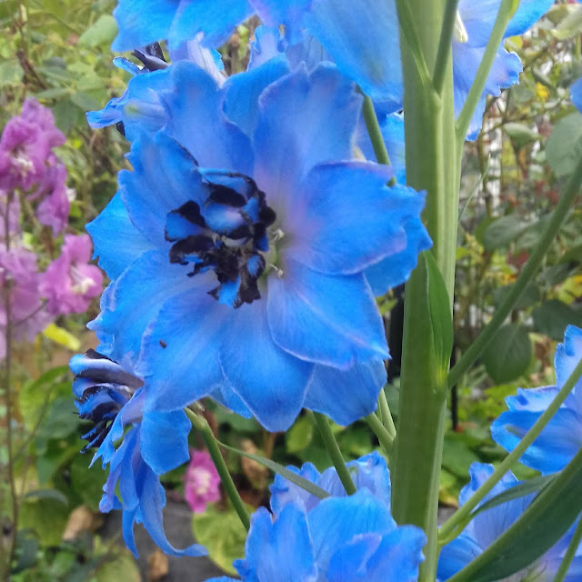 Glowing light blue flowers of delphinium elatum Pandora in 2019