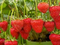 Cara budidaya Strawberry Di Polybag Supaya Buah Besar Dan Manis