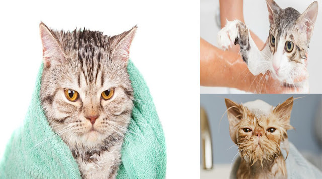 How to washing your cat step by step