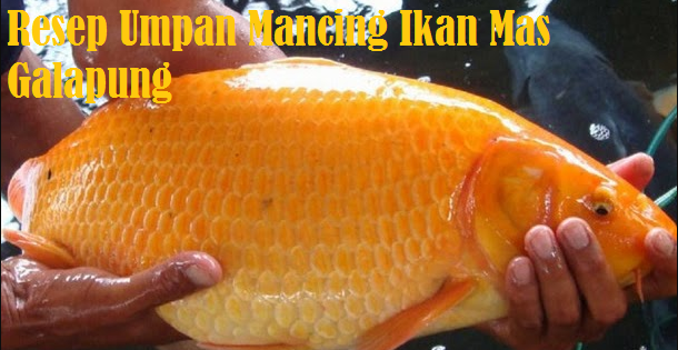 Resep Umpan Mancing Galapung Ikan Mas