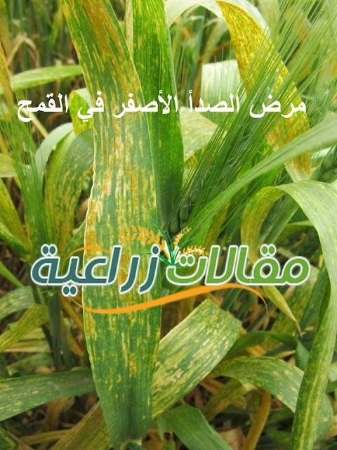مرض الصدأ الأصفر في القمح - الوقاية والعلاج - مقالات زراعية